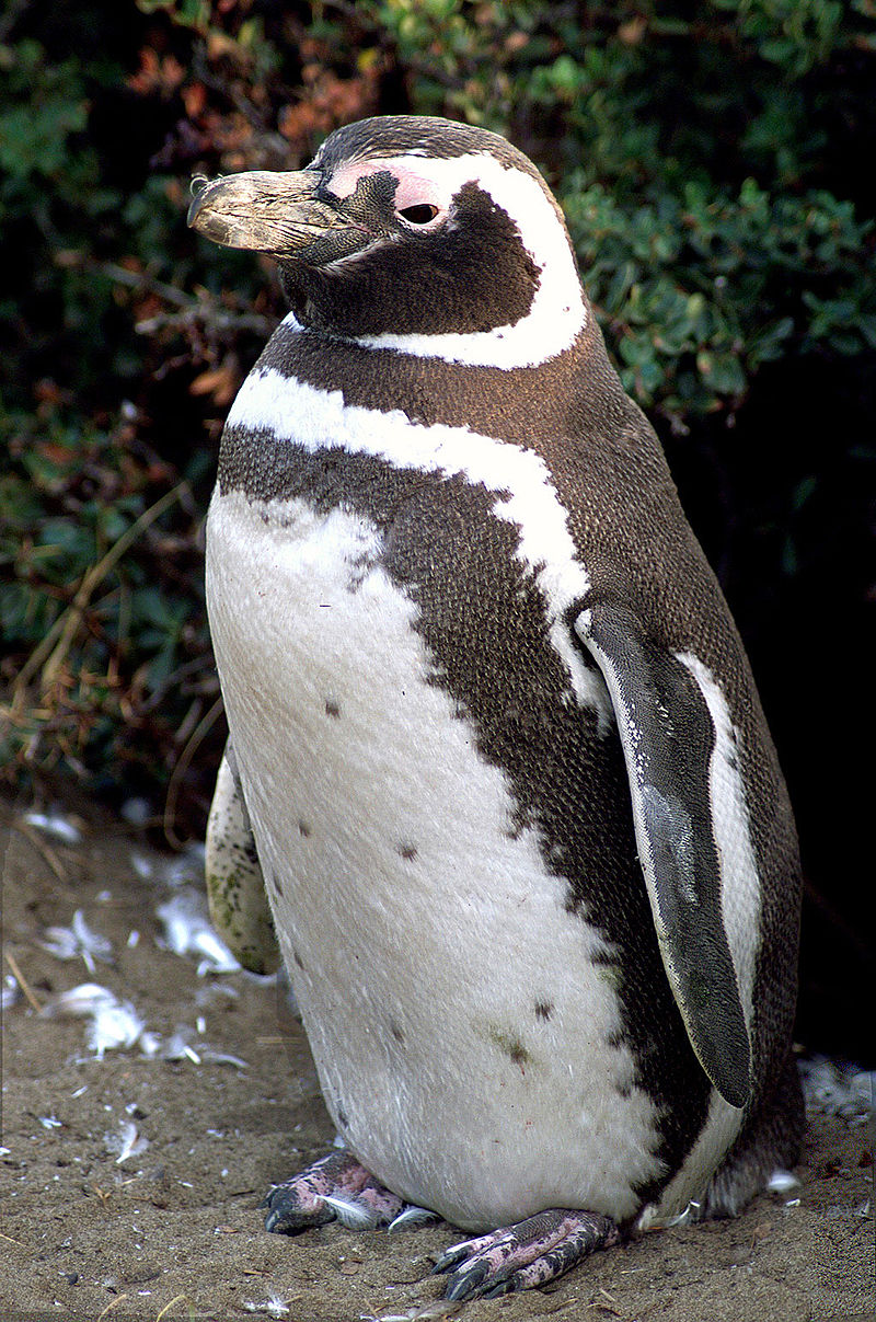 Pingüino de Magallanes. Créditos: NASA